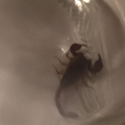 Bild2 - (Tiere, Insekten, Skorpion.)
