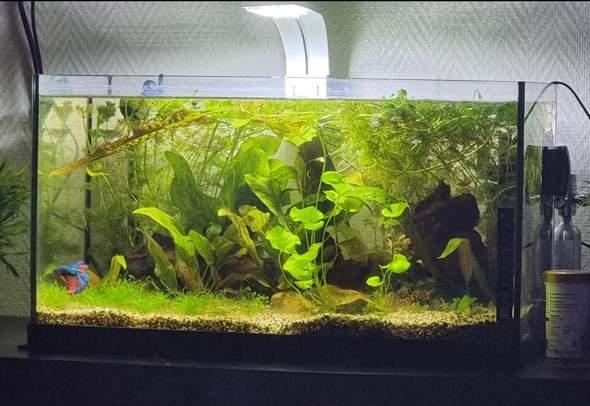Ist dieses Aquarium pflanzenmässig gut geeignet für ein Kampffisch Becken?