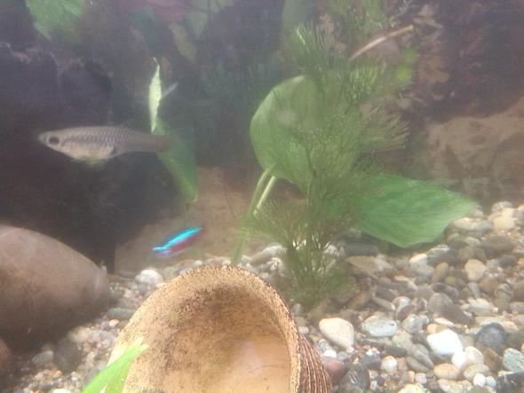 Hier das Weibchen - (Fische, guppy, Trächtig)