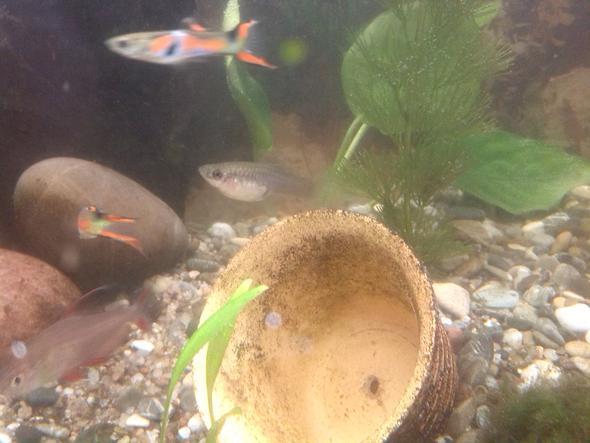 ... - (Fische, guppy, Trächtig)