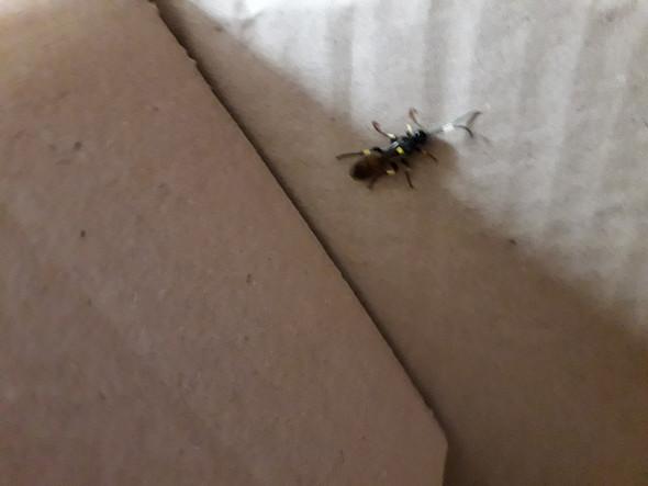 Ist dieses Insekt heimisch?