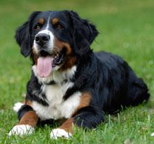 ist ein berner sennenhund ein familienhund hund kaufen rasse. Black Bedroom Furniture Sets. Home Design Ideas