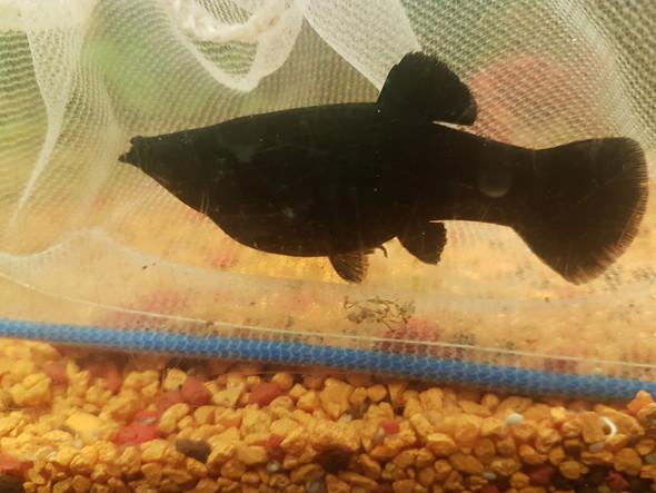 Ist einer meiner fischen schwanger?