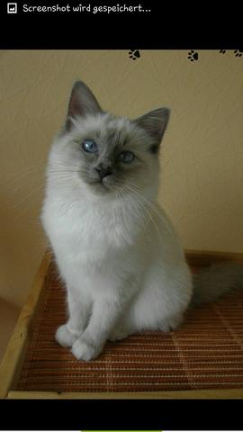 Ist es eine Hl. Birma Katze? - (Katzen, Birma)