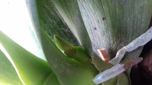 - (Pflanzen, Orchideen)