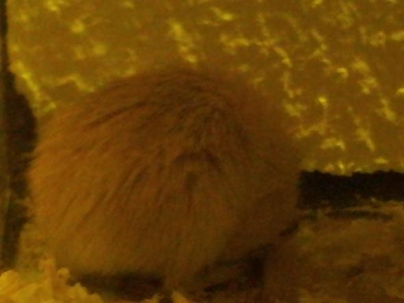 wüstenrennmaus - (Tiere, Maus, Rennmaus)