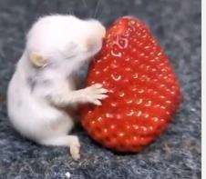Ist es schädlich für Babyhamster, wenn sie Erdbeere fressen?