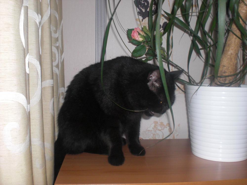 Elefantenfuß Giftig Für Katze ist es schlimm wenn meine katze an pflanzen knabbert biologie