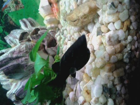 Schwanger ja nein  - (Fische, Aquarium, Aquaristik)