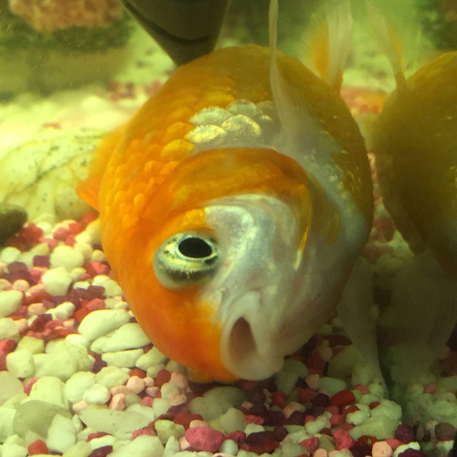 Ist mein goldfisch am sterben schwanger tod fische for Aquarium goldfische