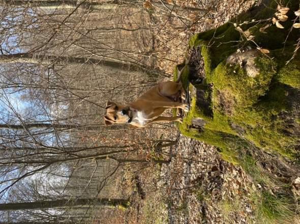 Ist mein Hund ein American Staffordshire Terrier?