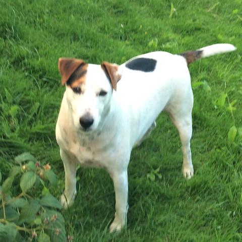 (Mein Hund)  - (Tiere, Hund, Jack-Russel-Terrier)