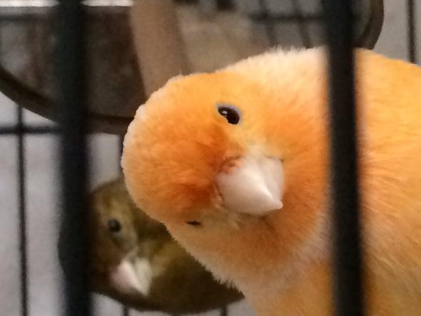 Ist mein kanarienvogel krank?