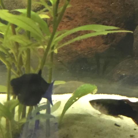 Dicker - (schwanger, Fische, Aquarium)