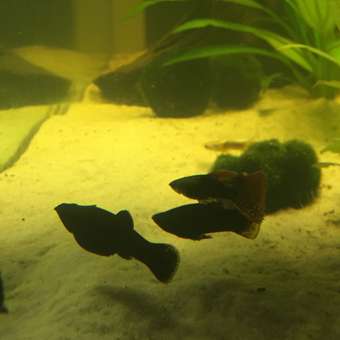 Black - (schwanger, Fische, Aquarium)