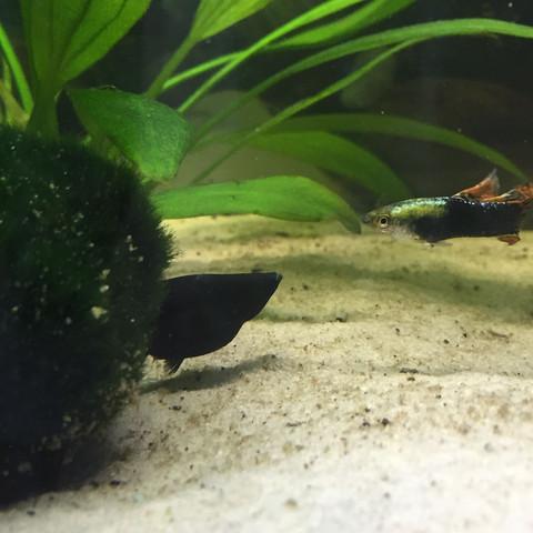 Molly - (schwanger, Fische, Aquarium)