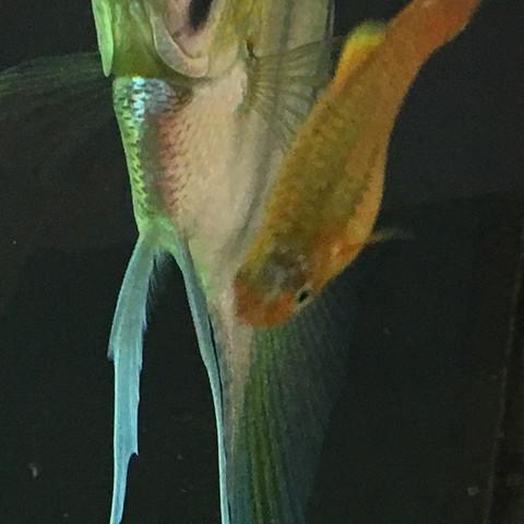 Platy.  - (Krankheit, Aquarium, Aquaristik)