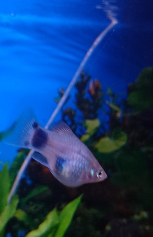 Platy  - (Aquaristik, Trächtig, platy)