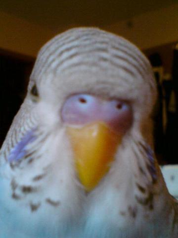 Picos Schnabel - (Vögel, Wellensittich, Geschlecht)