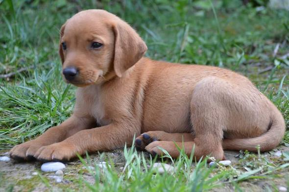 Balu - (Tiere, Hund, Welpen)