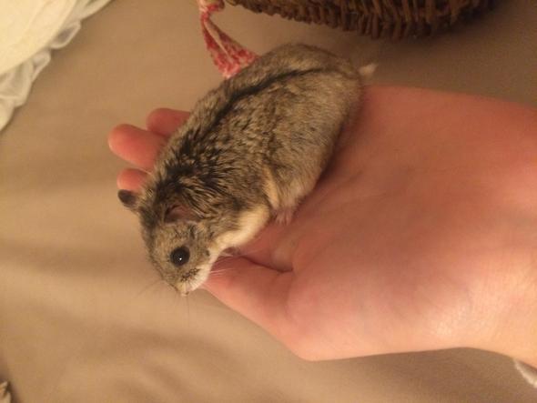 Mein Zwerghamster - (Tiere, Hamster, Zwerghamster)