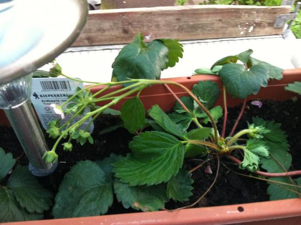 Foto 2 - (Pflanzen, Blumen, Pflanzenpflege)