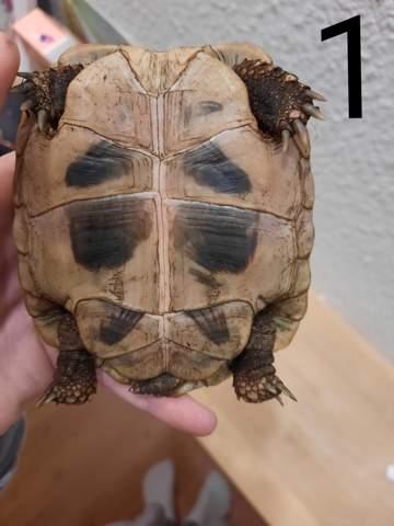 - (Reptilien, Schildkröten)