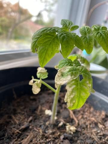 Ist meine Tomatenpflanze krank (weiße Flecken auf Blättern)?