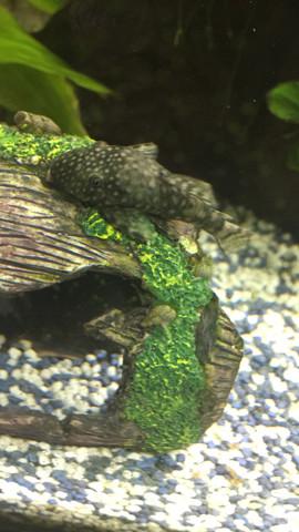 Antwnno - (Fische, Aquarium, antennenwels)