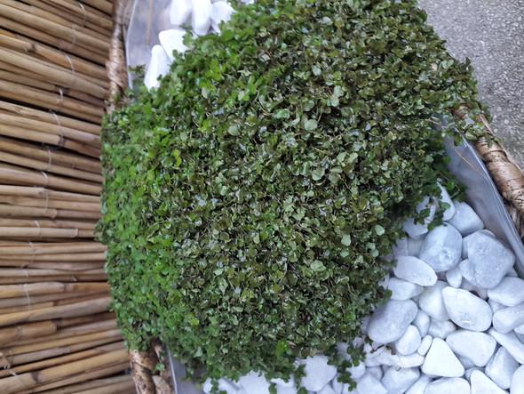 Bubikopf - (Pflanzen, Blumen, grüner Daumen)