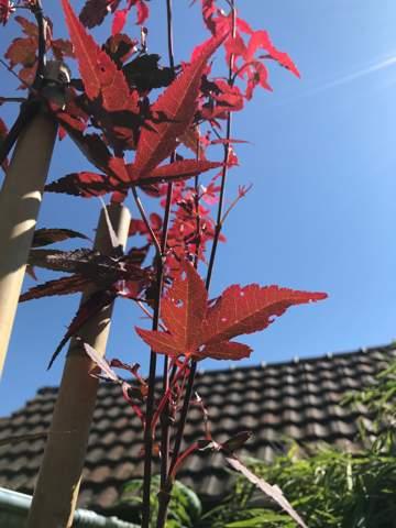 Japanischer Ahorn Bloodgood hat Löcher in den Blättern?