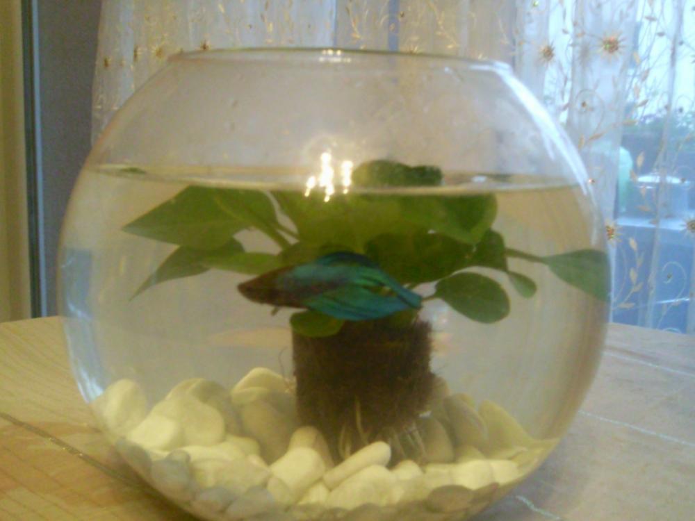 Japanischer kampffisch kaufen partnerschaft fische for Kampffisch aquarium