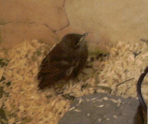 Amsel Jungvogel - (Freizeit, finden, füttern)