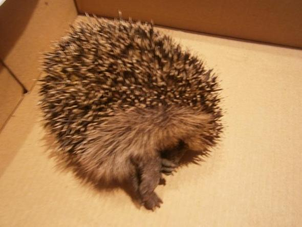 Unser Igel - (Tiere, Tod, Natur)
