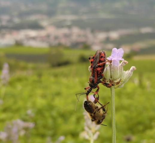 """dieser gemeine """"Bienenkiller"""" - (Garten, Kaefer)"""
