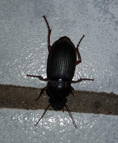 Käfer bestimmen? Wie heißt dieser Käfer?
