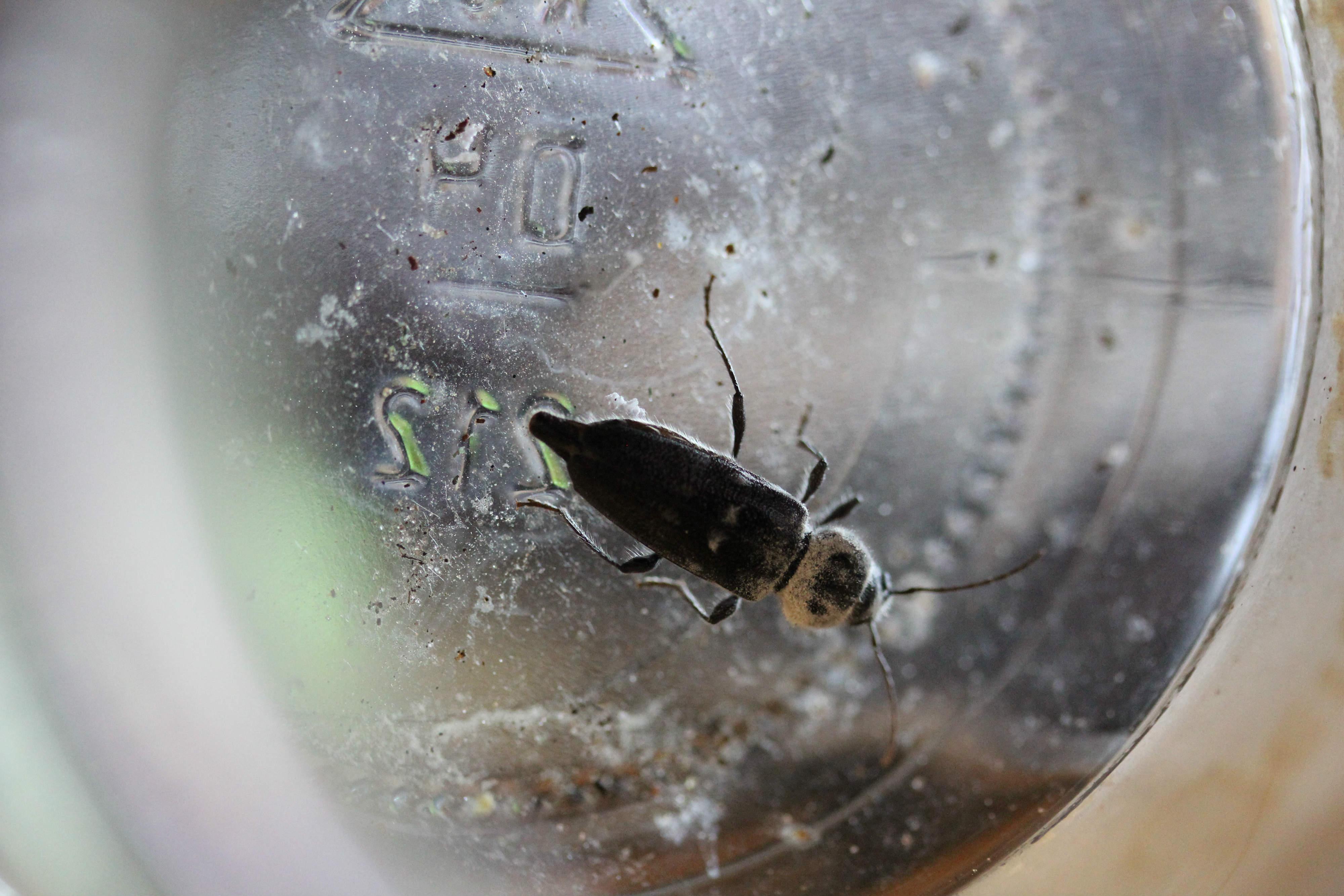 k fer besucht bestimmung des k fers insekten k fer bestimmen. Black Bedroom Furniture Sets. Home Design Ideas