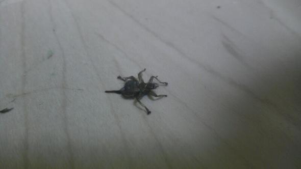 der ist schon tot - (Insekten, Kaefer, giftig)