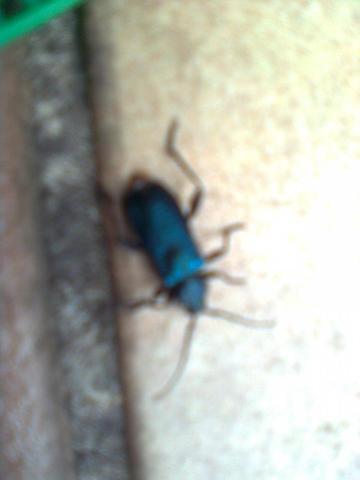 Von oben - (Käfer, Bestimmung)