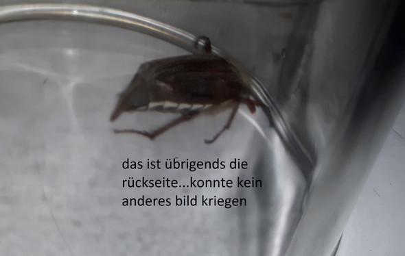 k fer in der wohnung was ist das f r einer tiere garten insekten. Black Bedroom Furniture Sets. Home Design Ideas
