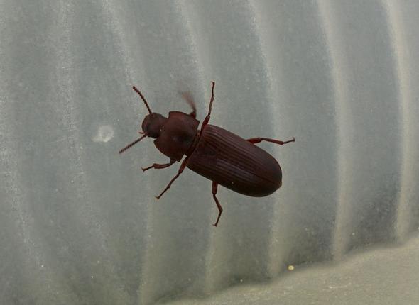 k fer rotbraun 2 cm im haus tiere insekten kaefer. Black Bedroom Furniture Sets. Home Design Ideas
