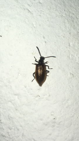 Kaferplage Italien Tiere Insekten Kafer