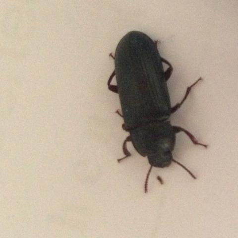 Foto 1 - (Insekten, Kaefer, Schädlinge)