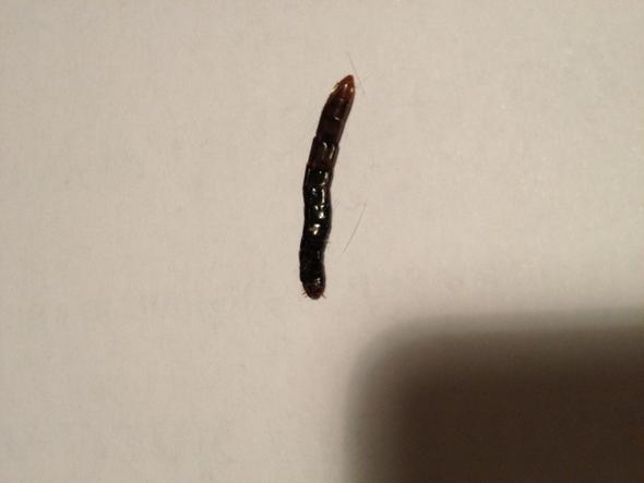 Kafer Wurm Raupe In Der Wohnung Undefinierbar Schadlinge Wurmer