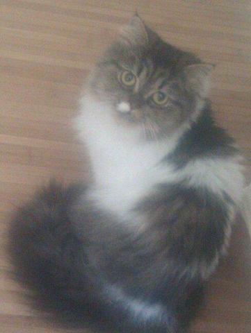 meine Perserkätzin Kitty - (Katzen, Farbverärbung)
