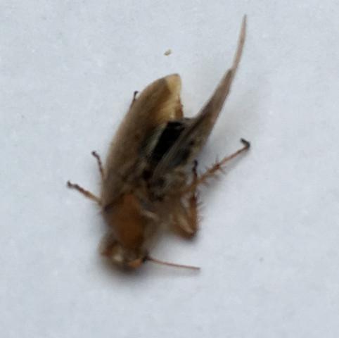kakerlake ja oder nein siehe bilder insekten ungeziefer kakerlaken. Black Bedroom Furniture Sets. Home Design Ideas