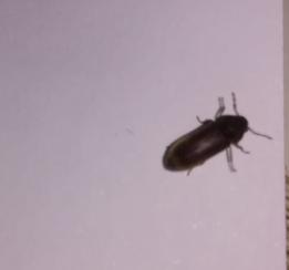Kakerlake, Reismehlkäfer oder ...? (Insekten, Schädlinge, Kakerlaken)