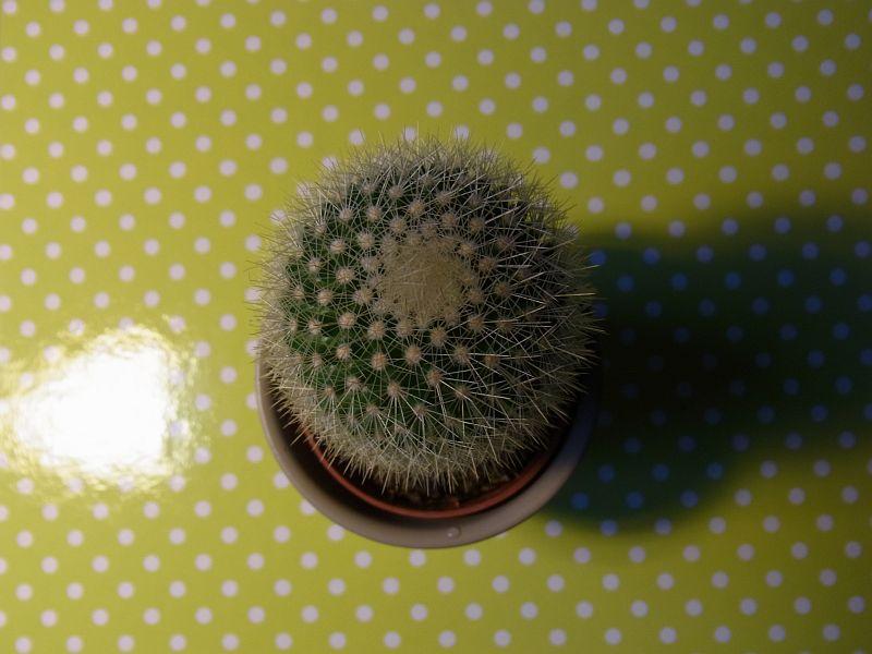 kakteen bestimmen kaktus