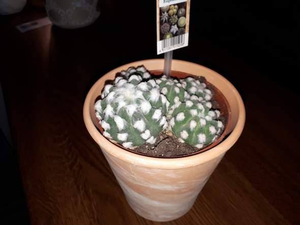 Kaktus - normal oder Wolllausbefall?
