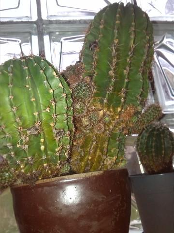 kaktus bekommt kleine mini kakteen aber wie handeln haus haushalt pflanzen. Black Bedroom Furniture Sets. Home Design Ideas